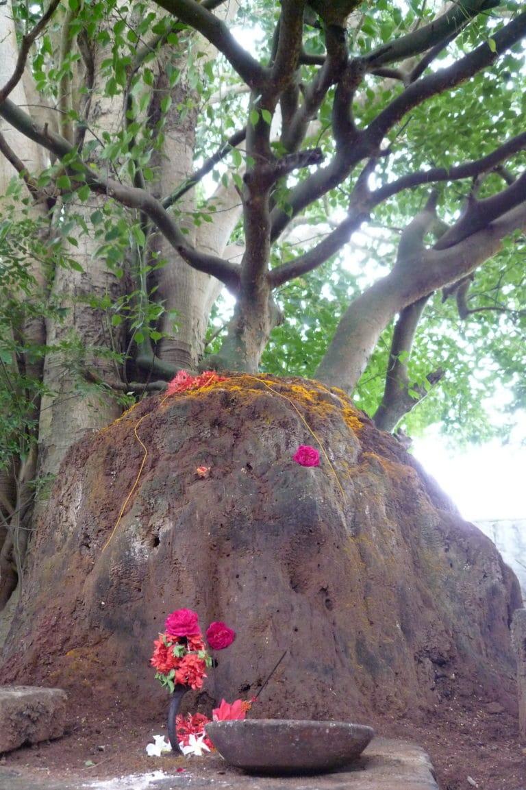 filosofia ayurveda. árbol de sivatree